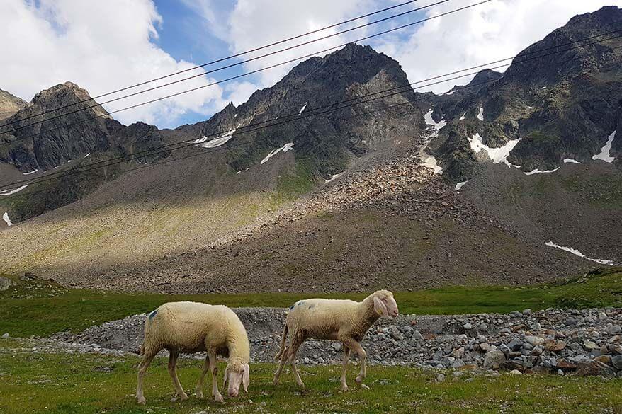 Sheep at Fernau mountain station at Stubai Glacier