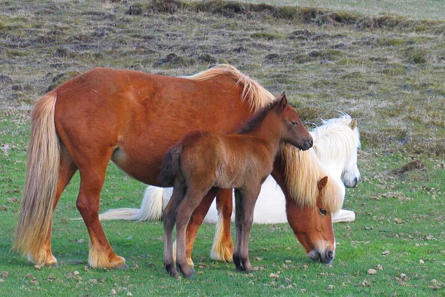 Icelandic horses on the south coast