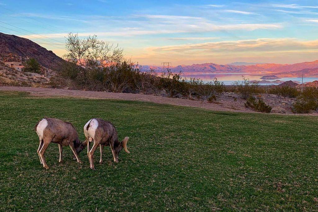 Bighorn sheep in Hemenway Park in Boulder City Nevada