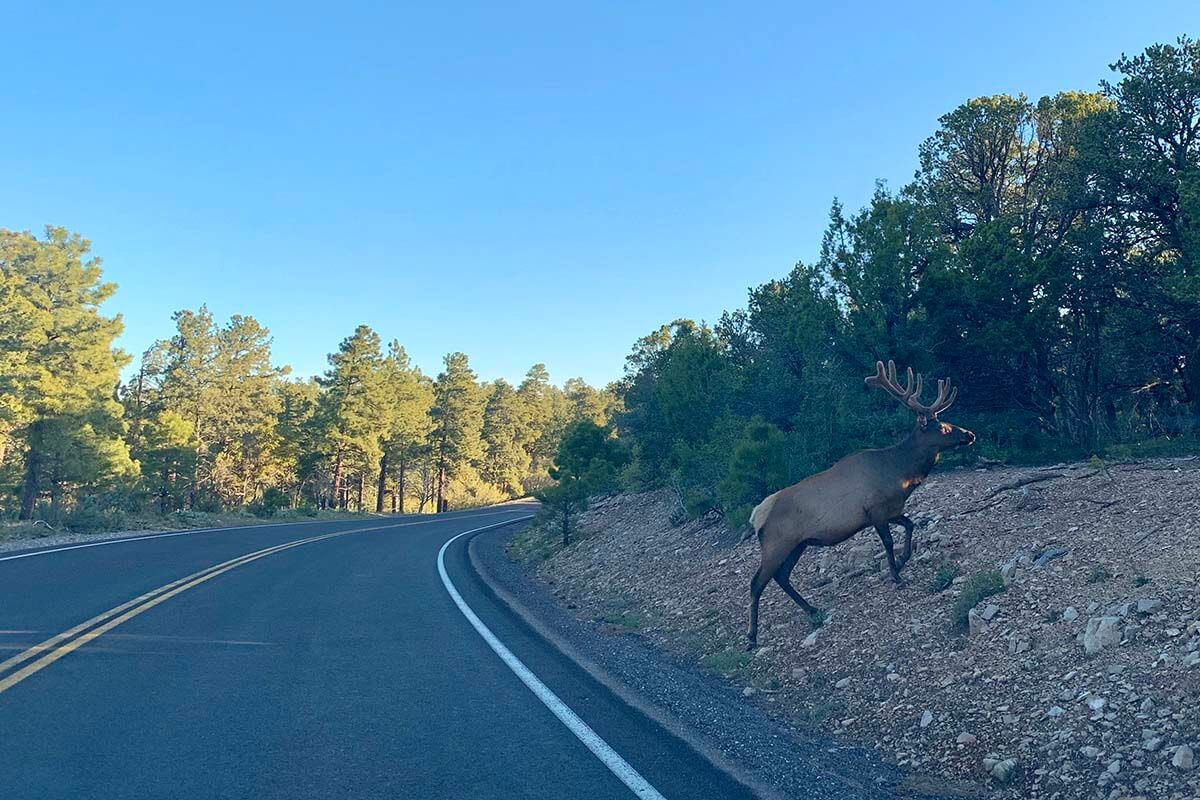 Elk crossing the road at the Grand Canyon