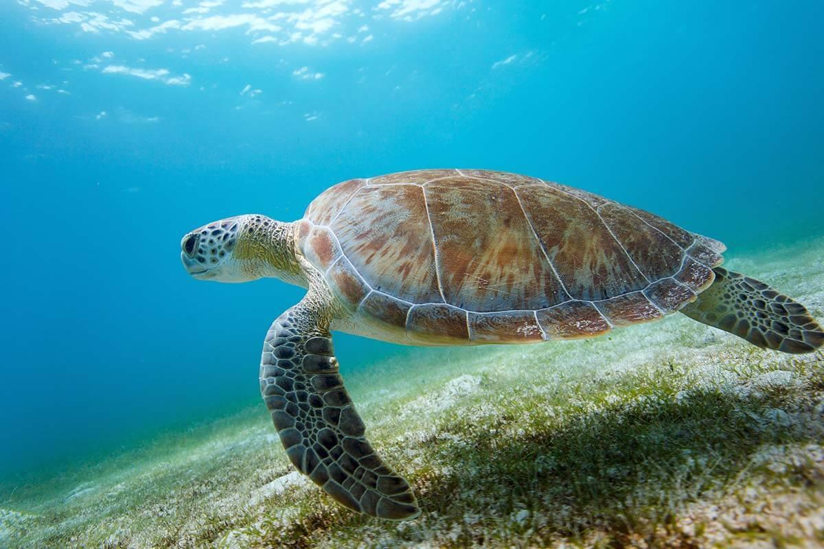 Sea turtle at Maho Bay in Saint John Virgin Islands