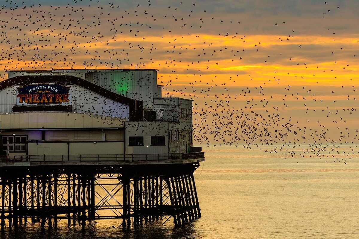 Starlings at the North Pier in Blackpool UK