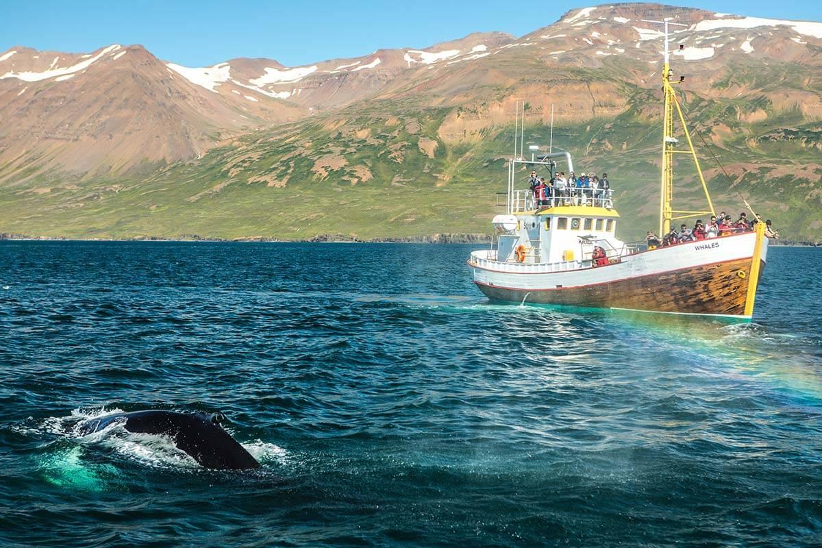 Husavik whales Iceland