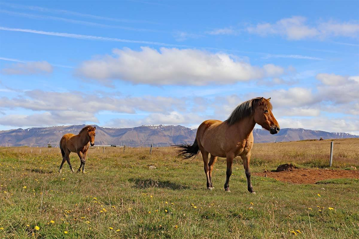 Icelandic horses on Trollaskagi Peninsula in Iceland