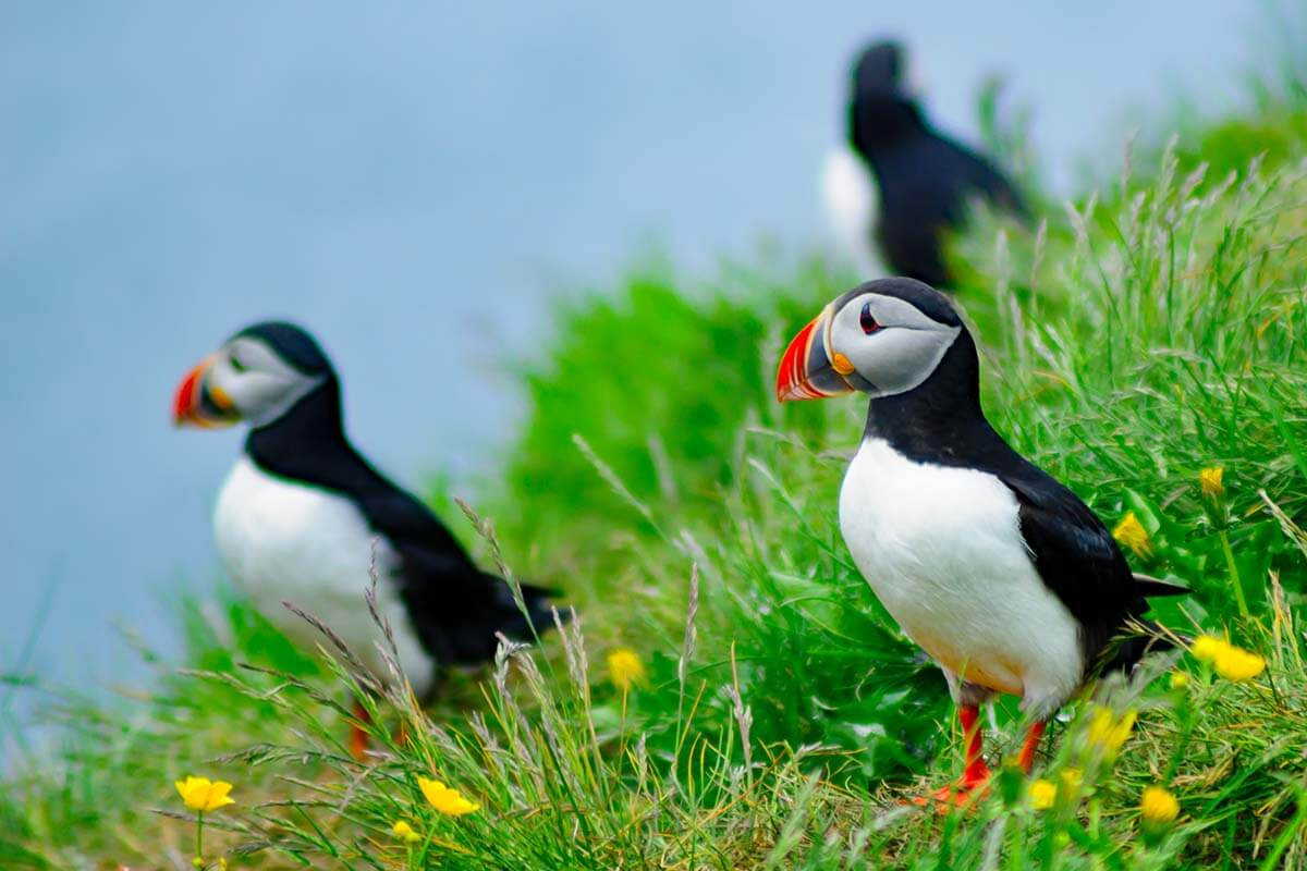 Puffins at Borgarfjardarhofn in the eastfjords of Iceland