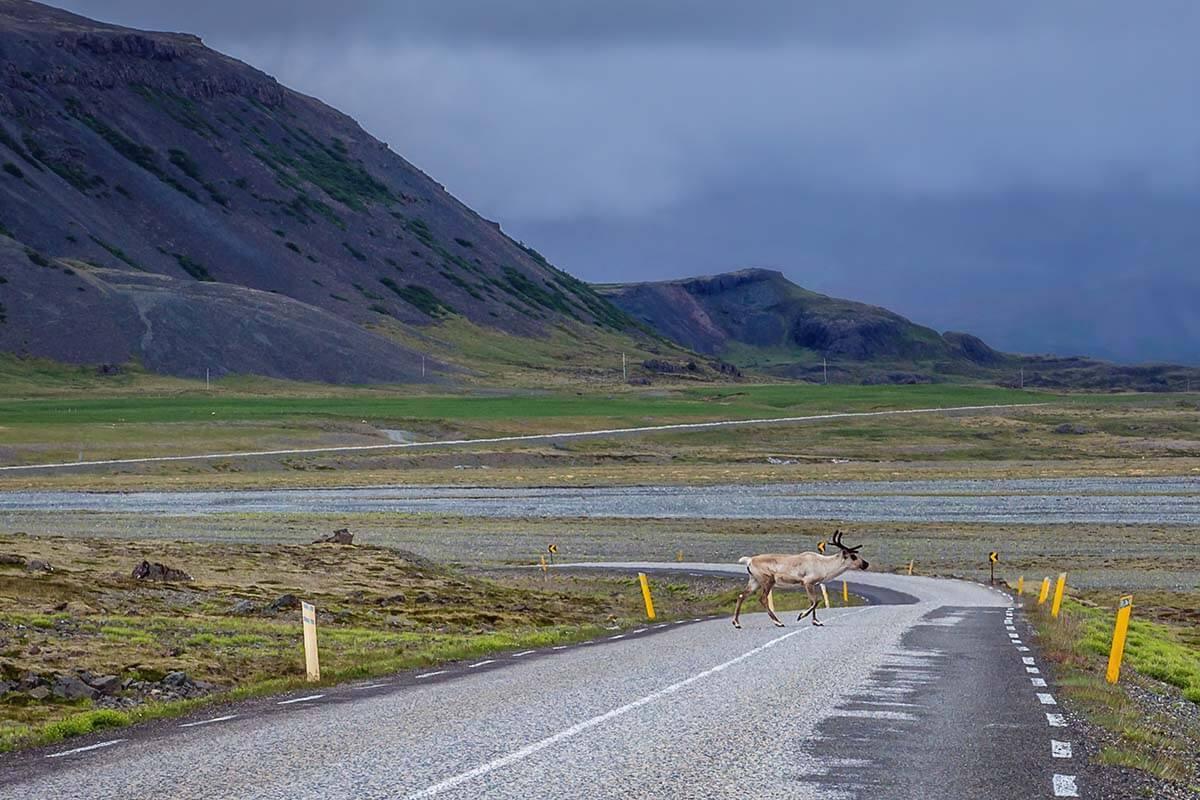 Reindeer crossing the road in eastern Iceland