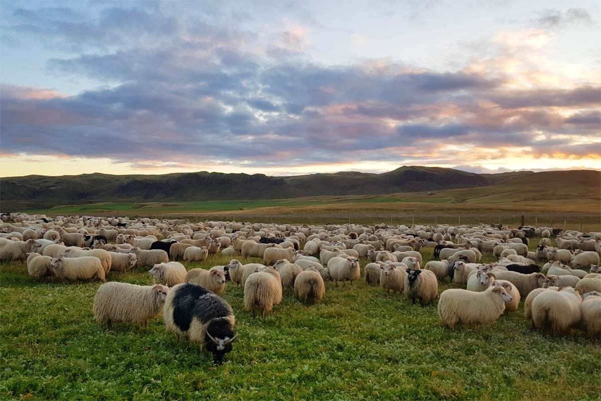 Sheep next to the Ring Road 1 in Iceland