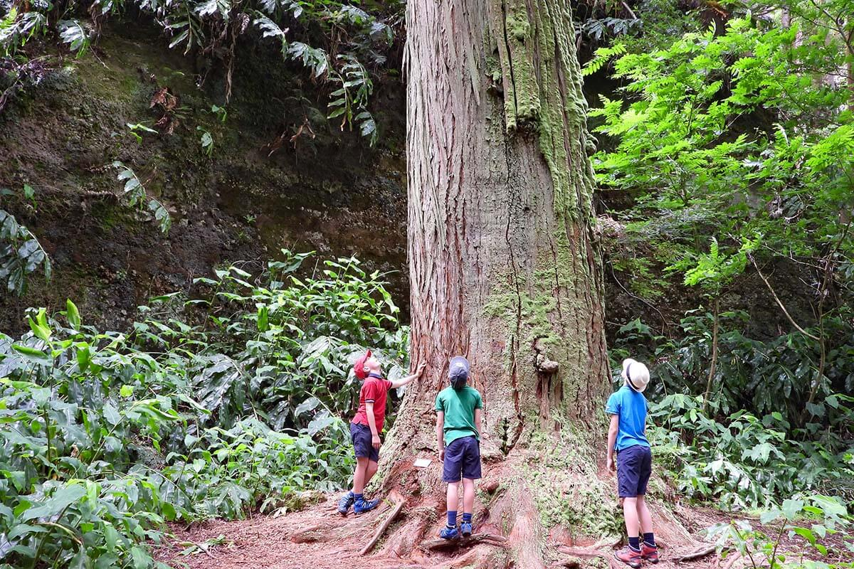 Giant sequoia at Jose do Canto Garden in Furnas