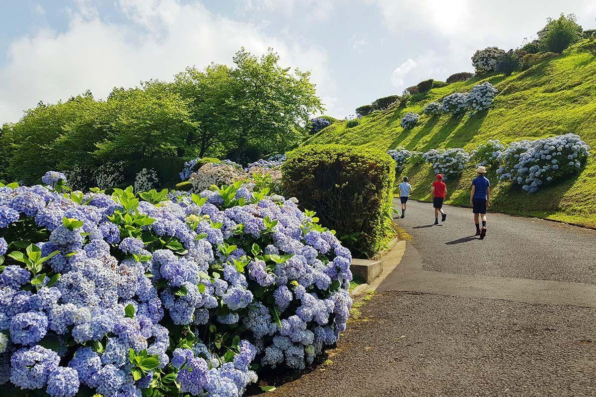 Hydrangeas at Miradouro do Picco Ferro in Furnas Azores