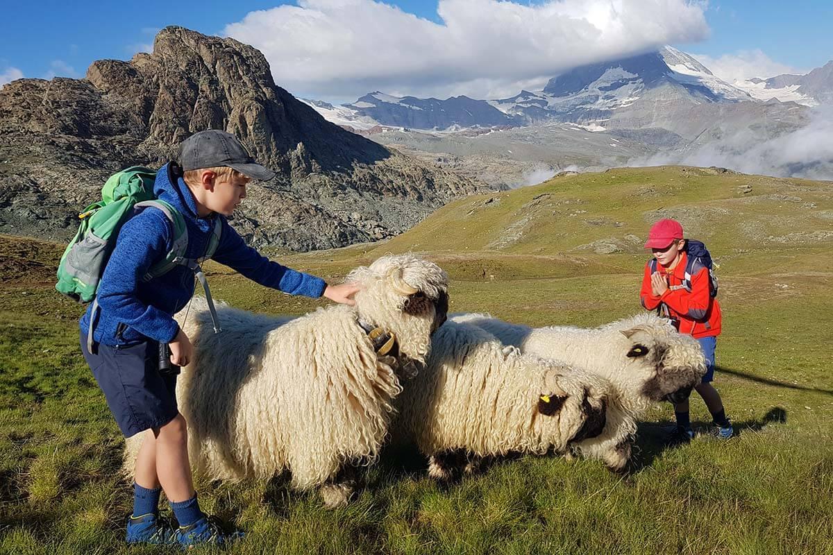 Best things to do in Zermatt - meet the sheep