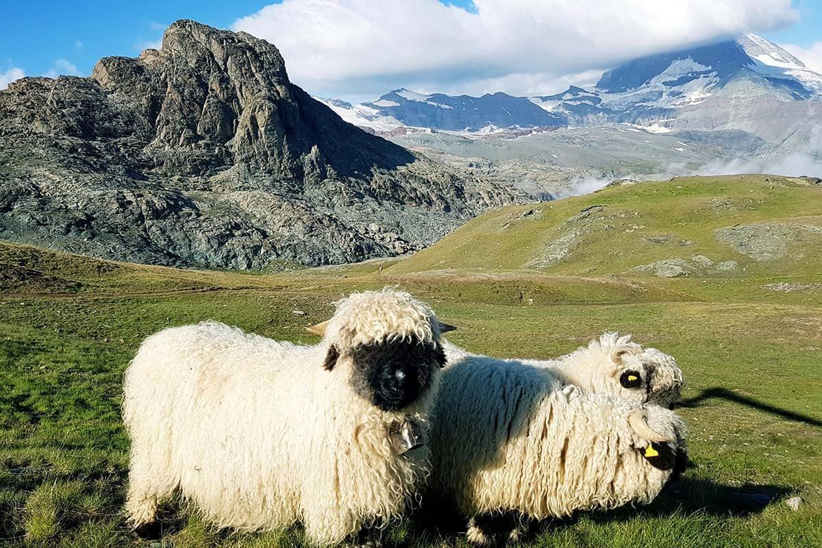 Blacknose sheep in front of the Matterhorn in Zermatt Switzerland