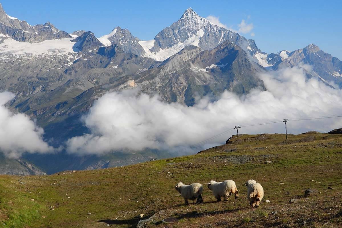 Blacknose sheep near Rotenboden in Zermatt