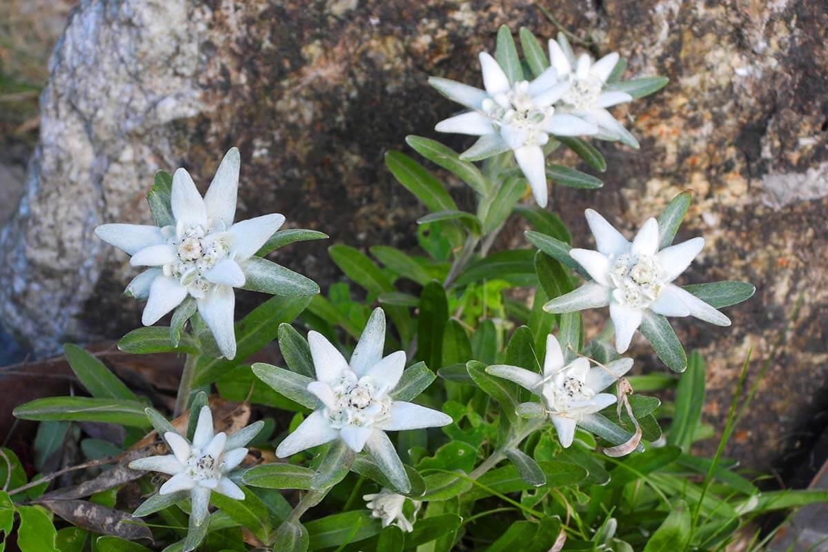 Edelweiss flowers in Zermatt