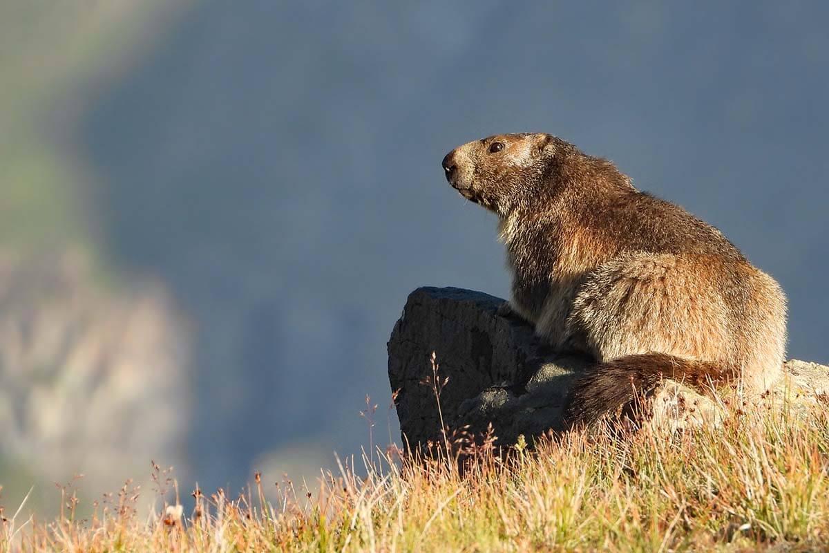 Marmot in Zermatt Switzerland