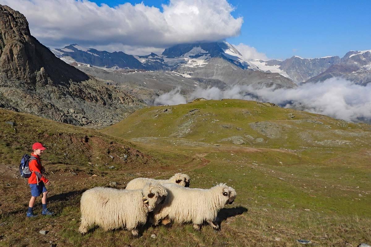 Sheep along the Riffelsee Lake Trail in Zermatt
