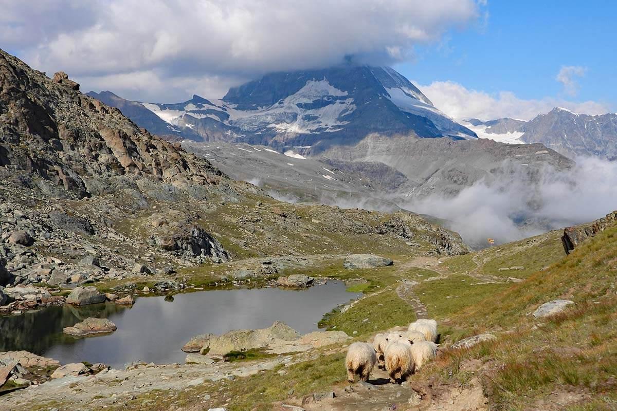 Sheep at Riffelsee in Zermatt Switzerland