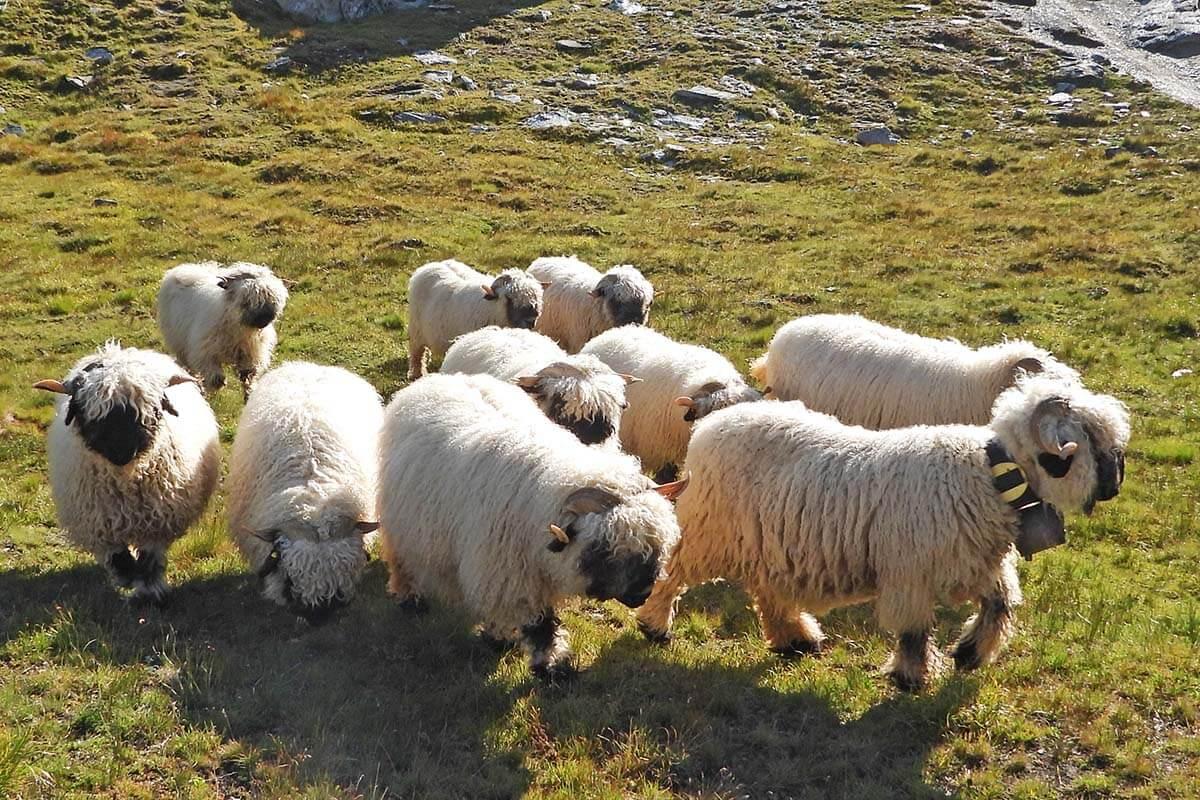 Blacknose Zermatt sheep