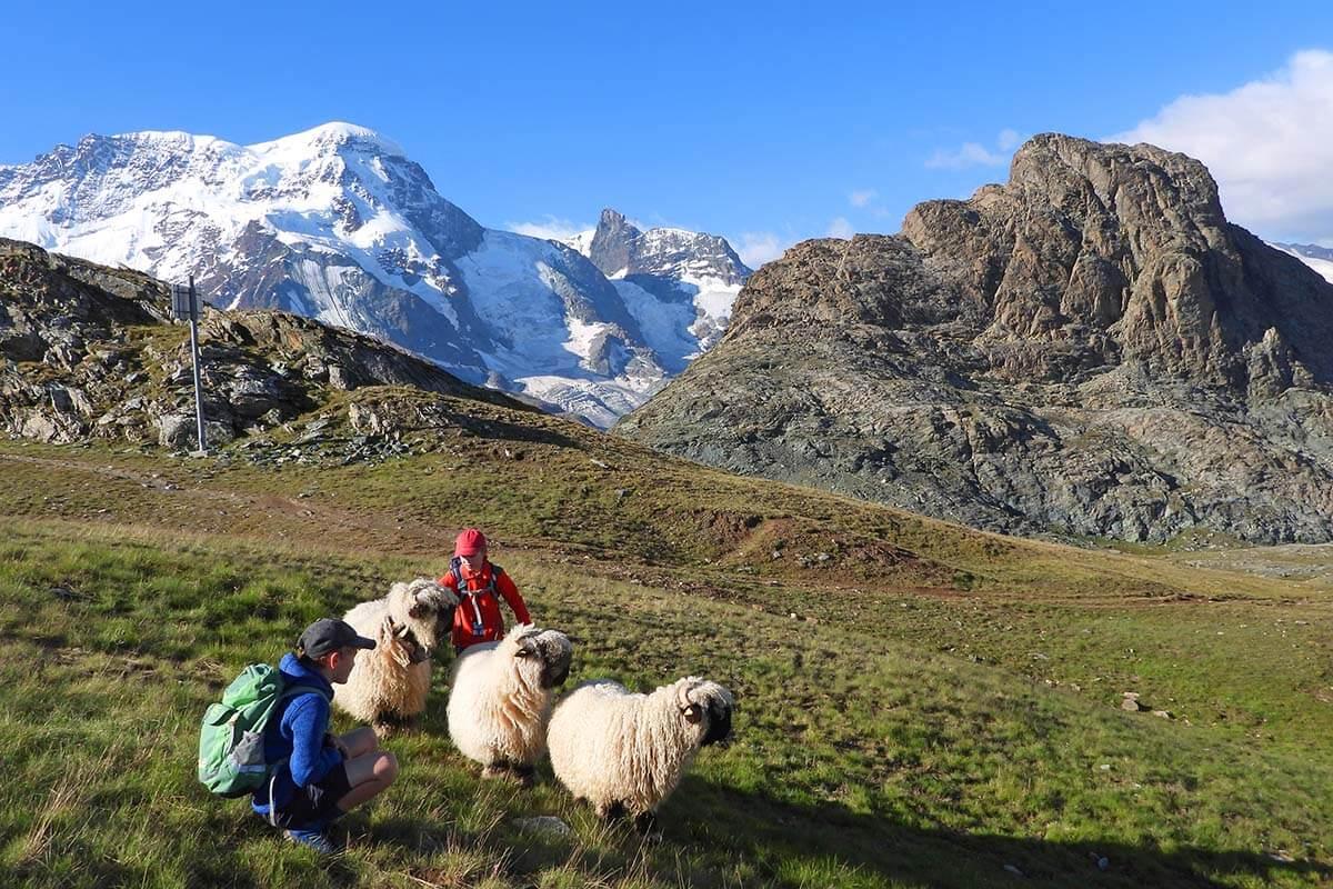 Kids and blacknose sheep near Riffelsee in Zermatt