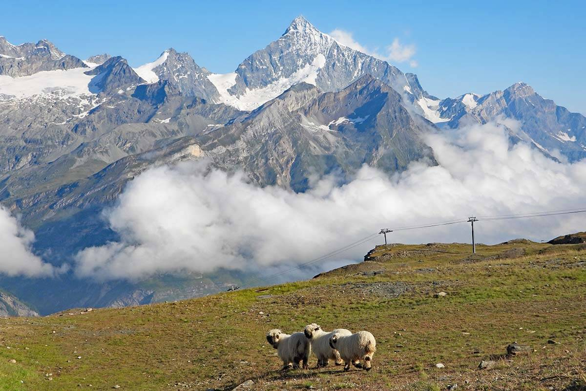Things to do in Gornergrat - meet the blacknose sheep